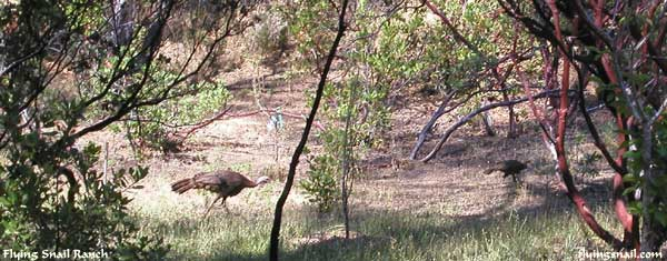 Turkeys in front yard - Flying Snail Ranch
